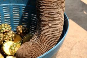 elefantes_asiaticos_rio_riodacasca_chapadadosguimaraes_trompa_abacaxi